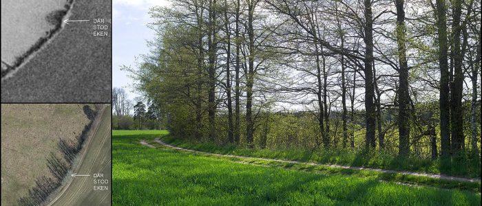Collage av tre bilder. Ett äldre flygfoto där det går att se skuggan av en ek, ett nyare flygfoto där skuggan av eken inte längre finns kvar och ett nytaget foto på platsen där eken tidigare stått.